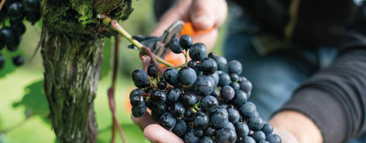 Rondo grapes - Dartmoor vineyard
