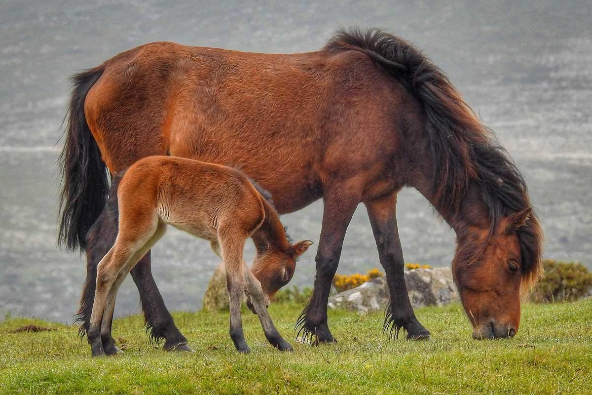 pony-and-foal