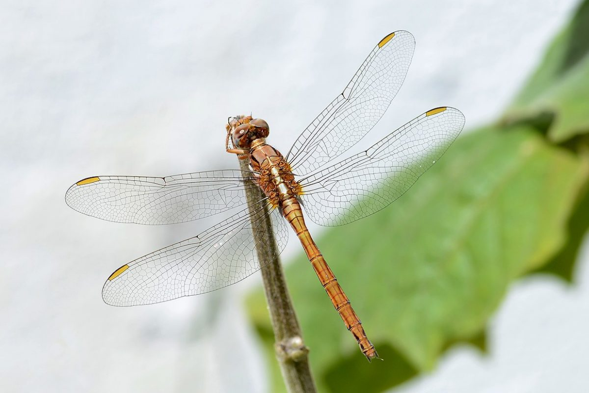 1280px-Orthetrum_August_2017-2
