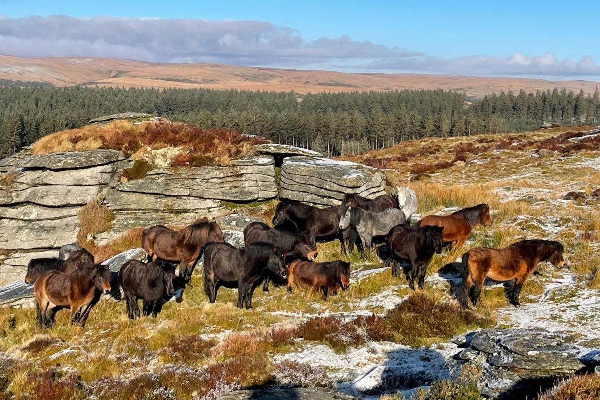 Bellever herd in the sun 230121