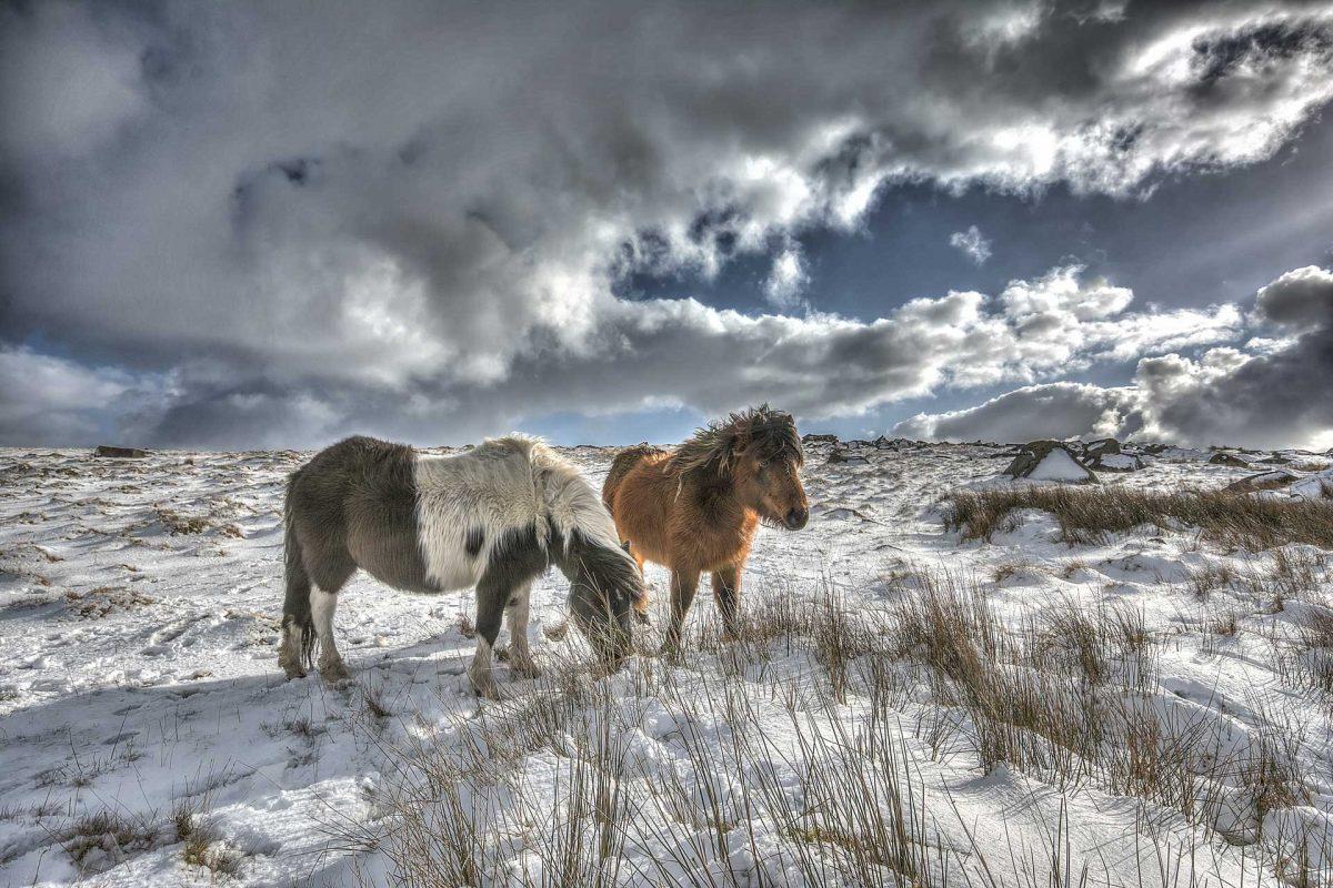 Ponies_in_Snow