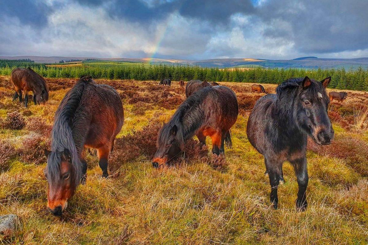 bellever-ponies-tracey-wheatley-1