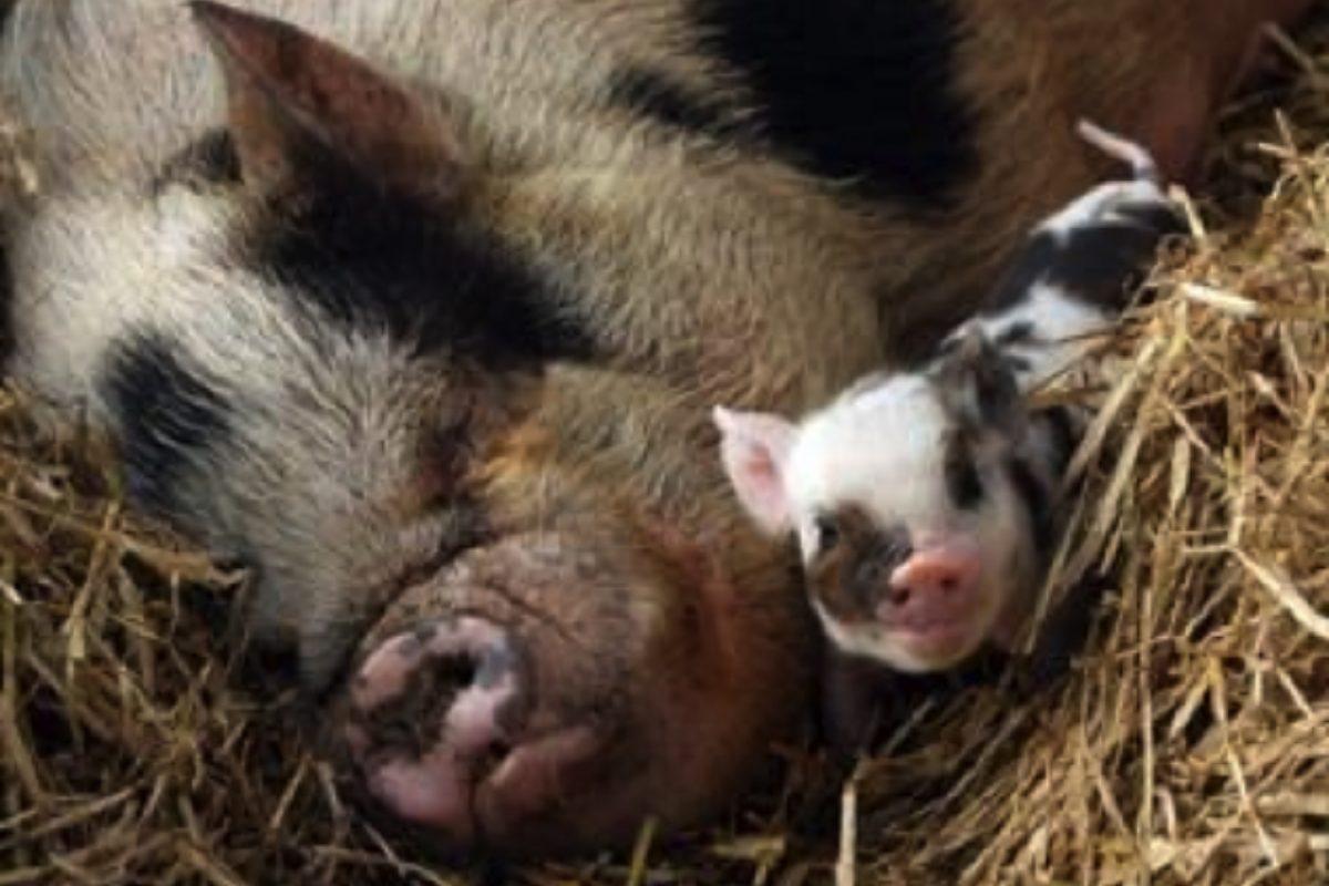 pigs.jpg_tmp
